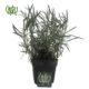 اسطوخودوس  افرا-Japanese maple Official lavender plant 1 80x80