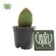 اپونتیا میکروداسیس  سدوم رفلکسوم-Sedum reflexum Opuntia microdasys plant 1 80x80