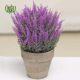 علف جارو  گل حنا-Busy lizzy Scots heather plant 2 80x80