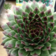 سمپرویوم  سدوم مالتیسپز-Sedum multiceps Sempervivum plant 3 80x80