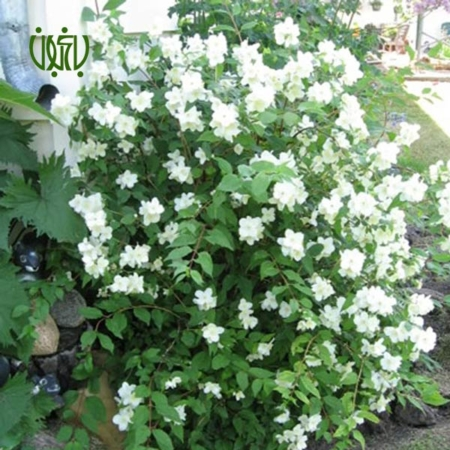 نرگس درختی  نرگس درختی-Sweet mock orange Sweet mock orange plant 5 450x450  فروشگاه Sweet mock orange plant 5 450x450
