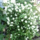 نرگس درختی  لاله-Tulip Sweet mock orange plant 5 80x80