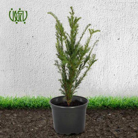 تاکسوس  تاکسوس (سرخدار)-TAXUS Taxus Bacata plant 2 450x450