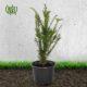 تاکسوس  بگونیا عروس-Wax Begonia Taxus Bacata plant 2 80x80