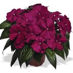 معرفی گل های فصلی                                                   impatiens new guinea divine violet f1