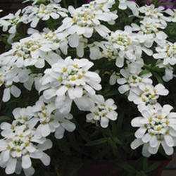 معرفی گل های فصلی 1 285 150