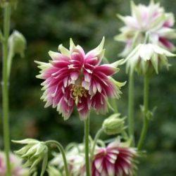 معرفی گل های فصلی 434324 250x250