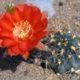 آکانتوکالیسیوم گلاسیوم  آکانتوکالیسیوم گلاسیوم- Acanthocalycium glaucum Acanthocalycium glaucum plant 001 80x80