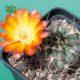 آکانتوکالیسیوم گلاسیوم  آکانتو کالیسیوم کیونانتوم- Acanthocalycium chionantum Acanthocalycium glaucum plant 002 80x80