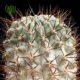 آکانتوکالیسیوم گلاسیوم  آکانتوکالیسیوم گلاسیوم- Acanthocalycium glaucum Acanthocalycium glaucum plant 004 80x80