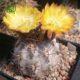 آکانتو کالیسیوم ثیونانثوم  آکانتو کالیسیوم کیونانتوم- Acanthocalycium chionantum Acanthocalycium thionanthum plant 001 80x80