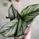 مارانتا  مارانتا _PRAYER PLANT Calathea Ornata Pin plant 001 80x80