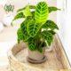 مارانتا  مارانتا یا کالاتیا گورخری-ZEBRA PLANT Calathea zebrine plant 001 80x80