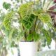 مارانتا  مارانتا یا کالاتیا گورخری-ZEBRA PLANT Calathea zebrine plant 002 80x80