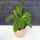 مارانتا  مارانتا یا کالاتیا گورخری-ZEBRA PLANT Calathea zebrine plant 003 80x80