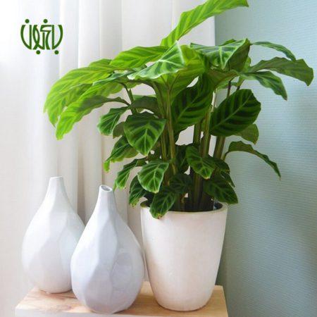 مارانتا  مارانتا یا کالاتیا گورخری-ZEBRA PLANT Calathea zebrine plant 004 450x450