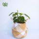 مارانتا  مارانتا یا کالاتیا گورخری-ZEBRA PLANT Calathea zebrine plant 005 80x80