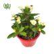 مرجان  گل مرجان-crown of thorns Euphorbia milii plant 001 80x80