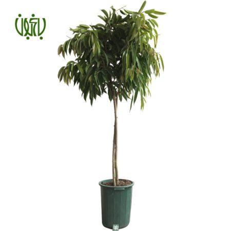 بنجامین آمستل کینگ  بنجامین آمستل کینگ-Ficus Amstel King Ficus Amstel King plant 1 450x450