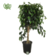 فیکوس بنجامین بلک  آگلونما مارایا (لجنی)-Aglaonema maraia Ficus Tree Black 1 80x80