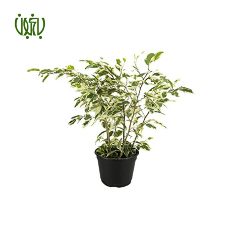 فیکوس بنجامین ابلق  فیکوس بنجامین ابلق -FICUS TREE Ficus benjamina plant 2 450x450