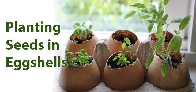 نحوه پرورش گیاه در پوست تخم مرغ GWC 640x300 eggshells  وبلاگ GWC 640x300 eggshells