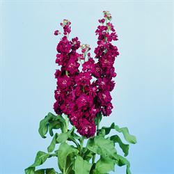 معرفی گل های فصلی Matthiola incana Lucinda Purple