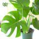 برگ انجیری  برگ انجیری- MONSTERA DELICIOSA Monstera Deliciosa plant 001 80x80