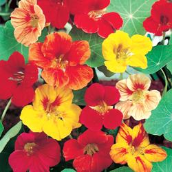 معرفی گل های فصلی Nasturtium TallClimbingMix
