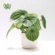 قاشقی قاشقی قاشقی (پپرومیا) – Peperomia Peperomia magnoliifolia plant 001 80x80