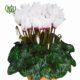 گیاه سیکلامن  سیکلامن پرسیکوم-persicum Cyclamen Plant Persicum Cyclamen 05 80x80