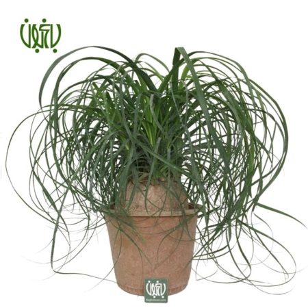 لیندا  بن سای لیندا-PONYTAIL PALM Ponytail Palm Bonsai plant 1 450x450