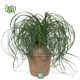 لیندا  شمعدانی-Horseshoe geranium Ponytail Palm Bonsai plant 1 80x80