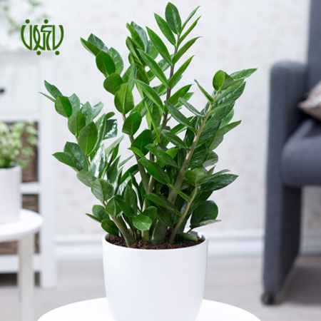 زاموفیلیا گل و گیاه خانگی گل و گیاه خانگی Zamioculcas Zamiifolia plant 002 450x450 گل و گیاه خانگی گل و گیاه خانگی Zamioculcas Zamiifolia plant 002 450x450