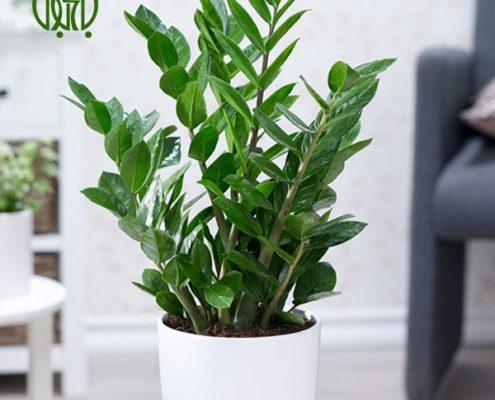 زاموفیلیا  سانسوریا پا کوتاه-Sansevieria Trifasciata hahnii Zamioculcas Zamiifolia plant 002 495x400