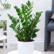 زاموفیلیا  آرالیای ژاپنی  –  JAPANESE ARALIA Zamioculcas Zamiifolia plant 002 80x80
