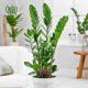 زاموفیلیا زامیفولیا زامیفولیا (زاموفیلیا) – Zamiifolia Zamioculcas Zamiifolia plant 003 80x80
