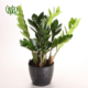 زاموفیلیا زامیفولیا زامیفولیا (زاموفیلیا) – Zamiifolia Zamioculcas Zamiifolia plant 004 80x80