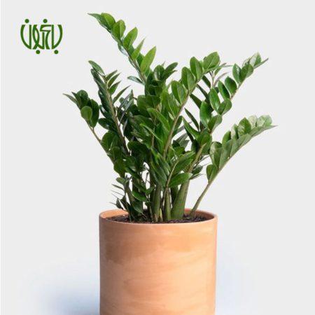 زاموفیلیا زامیفولیا زامیفولیا (زاموفیلیا) – Zamiifolia Zamioculcas Zamiifolia plant 005 450x450