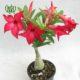 آدنیوم دراسنا کامپکت دراسنا کامپکتا – Dracaena compacta desert rose plant 001 80x80