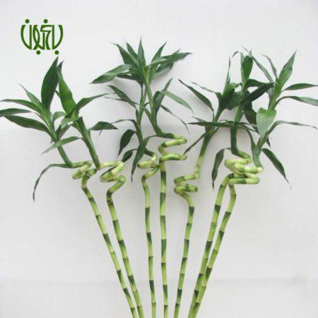 بامبو  بامبو-LUCKY BAMBOO lucky bamboo plant 3 450x450