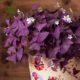 اکسالیس  اکسالیس، ترشک ، گل عشق – oxalis regnellii oxalis regnellii plant 002 80x80