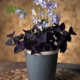 اکسالیس  اکسالیس، ترشک ، گل عشق – oxalis regnellii oxalis regnellii plant 003 80x80