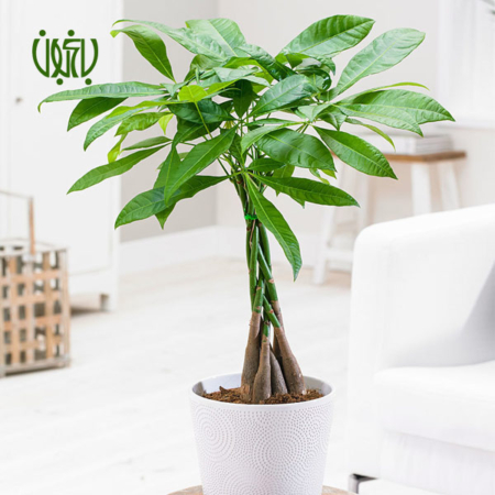 پاچیرا گل و گیاه خانگی گل و گیاه خانگی pachira macrocarpa plant 002 450x450 گل و گیاه خانگی گل و گیاه خانگی pachira macrocarpa plant 002 450x450