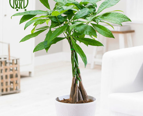 پاچیرا  سانسوریا پا کوتاه-Sansevieria Trifasciata hahnii pachira macrocarpa plant 002 495x400