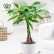 پاچیرا  اسطوخودوس  – LAVENDER pachira macrocarpa plant 002 80x80