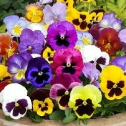معرفی گل های فصلی viola x wittrockiana swiss giants velvet mixed 1