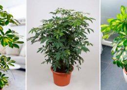معرفی گل های فصلی shefflera4 260x185 گل و گیاه خانگی گل و گیاه خانگی shefflera4 260x185