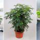 روش های موثر برای مبارزه با آفات گل و گیاه خانگی shefflera4 80x80