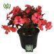 گل حنا  گل شرابی-sweetshrub Busy lizzy 7 80x80